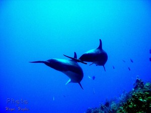 Two Dolphins underwater in Provo waters.